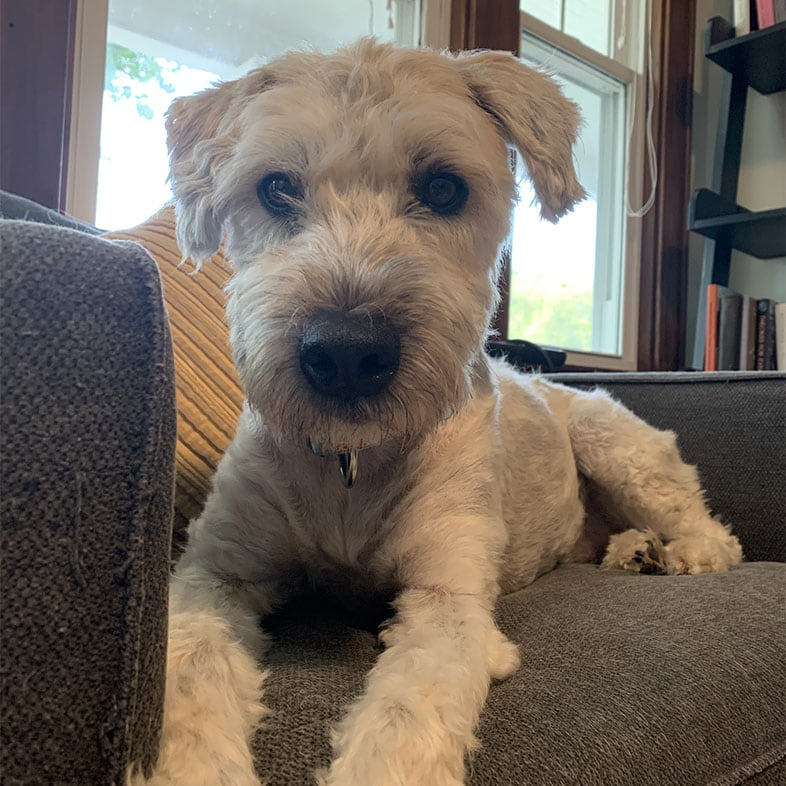 Wheaten Terrier Dog Lying on Couch Looking at Camera   Taste of the Wild