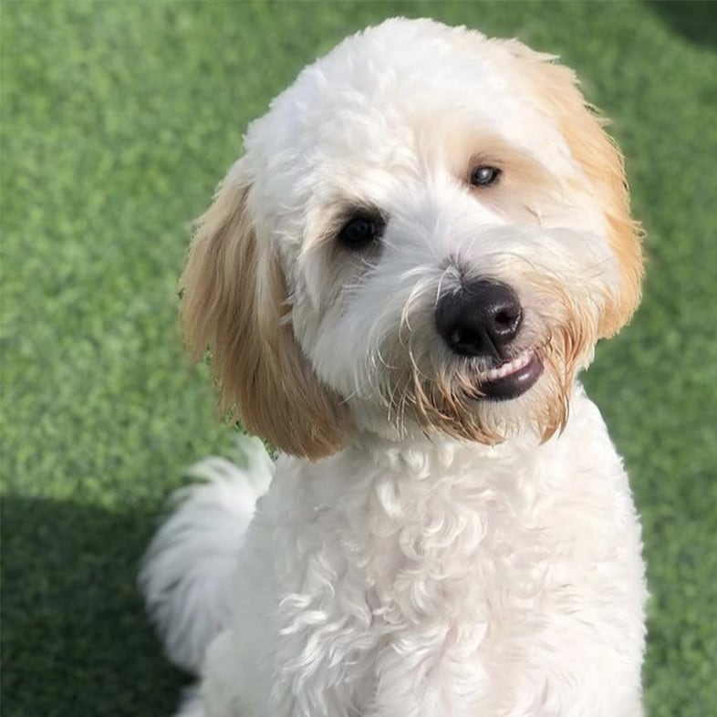 White Labradoodle Sitting and Smiling   Taste of the Wild