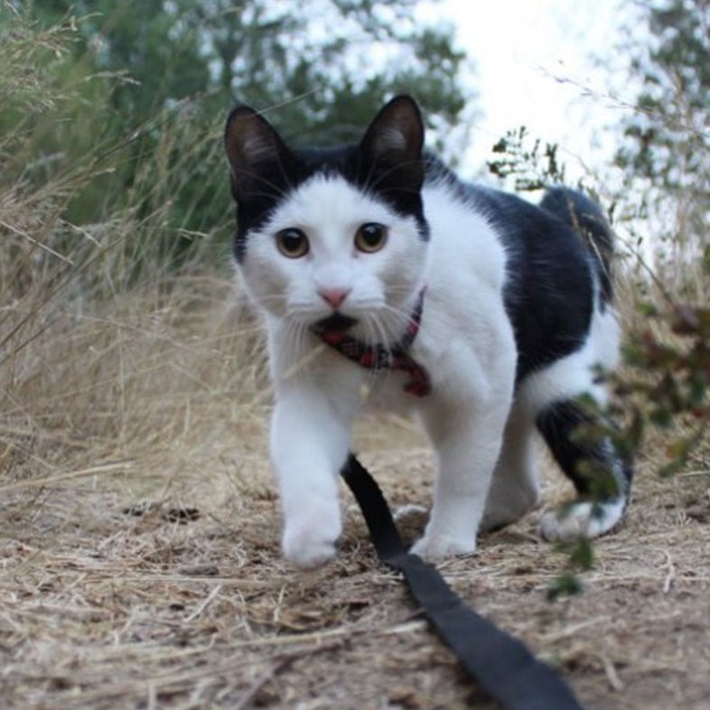 Cat Walking Outdoors with Leash On   Taste of the Wild