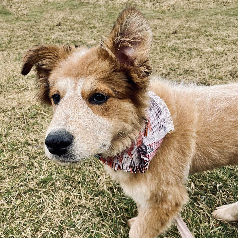 Great Pyrenees Mix Dog with Bandana On   Taste of the Wild