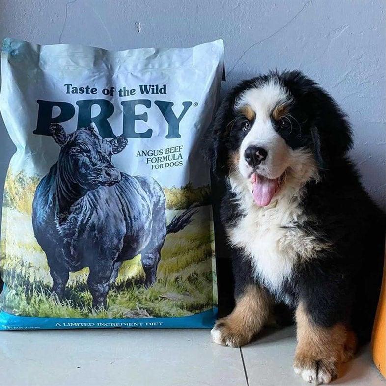Bernese Mountain Dog Puppy Next to Taste of the Wild PREY Bag | Taste of the Wild