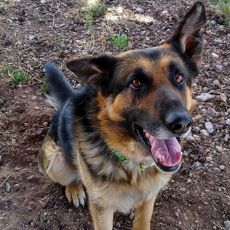 German Shepherd Dog Sitting with Mouth Open   Taste of the Wild
