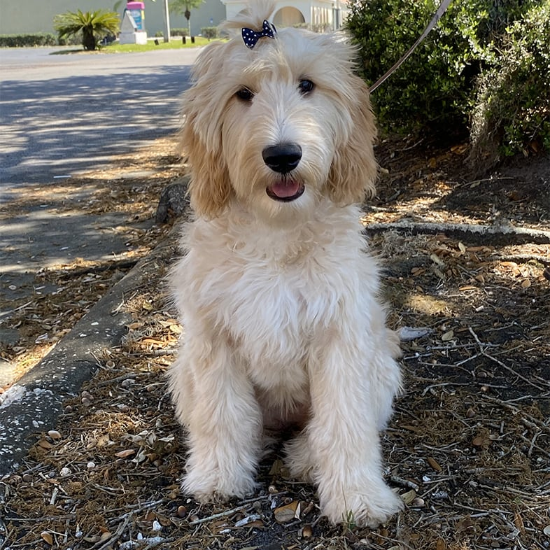 Goldendoodle Dog Sitting Next to a Tree   Taste of the Wild