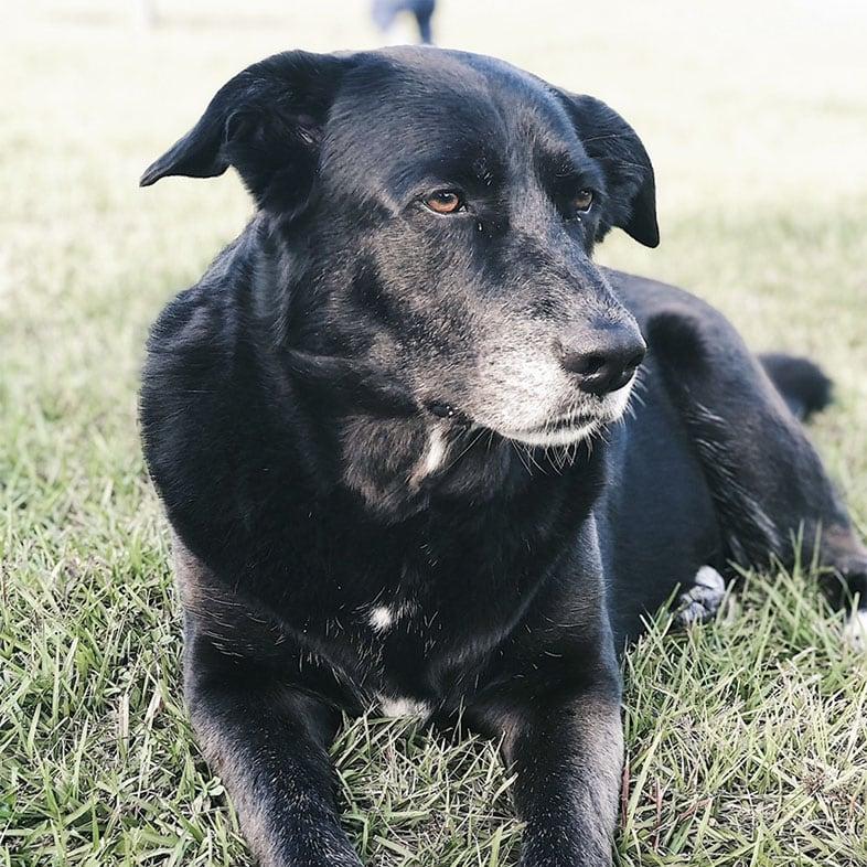 Husky Lab Mix Dog Lying on Grass   Taste of the Wild