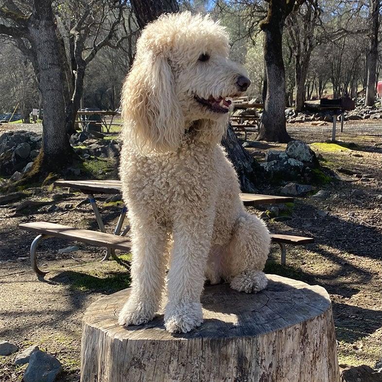 Poodle Sitting on Tree Log   Taste of the Wild