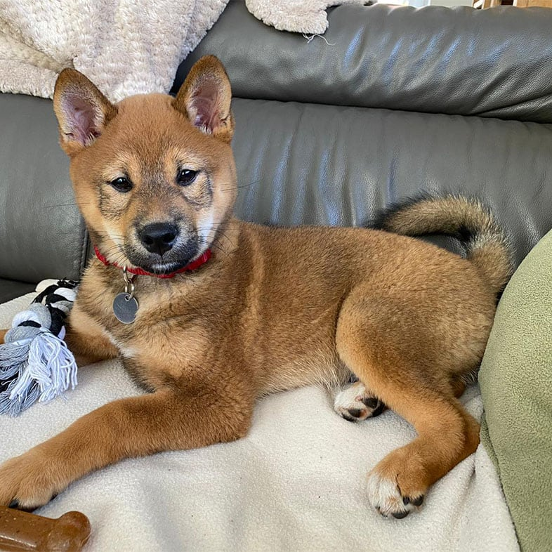 Shiba Inu Dog Lying on Couch | Taste of the Wild