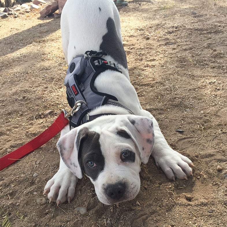 American Bully Puppy Playing in the Dirt   Taste of the Wild