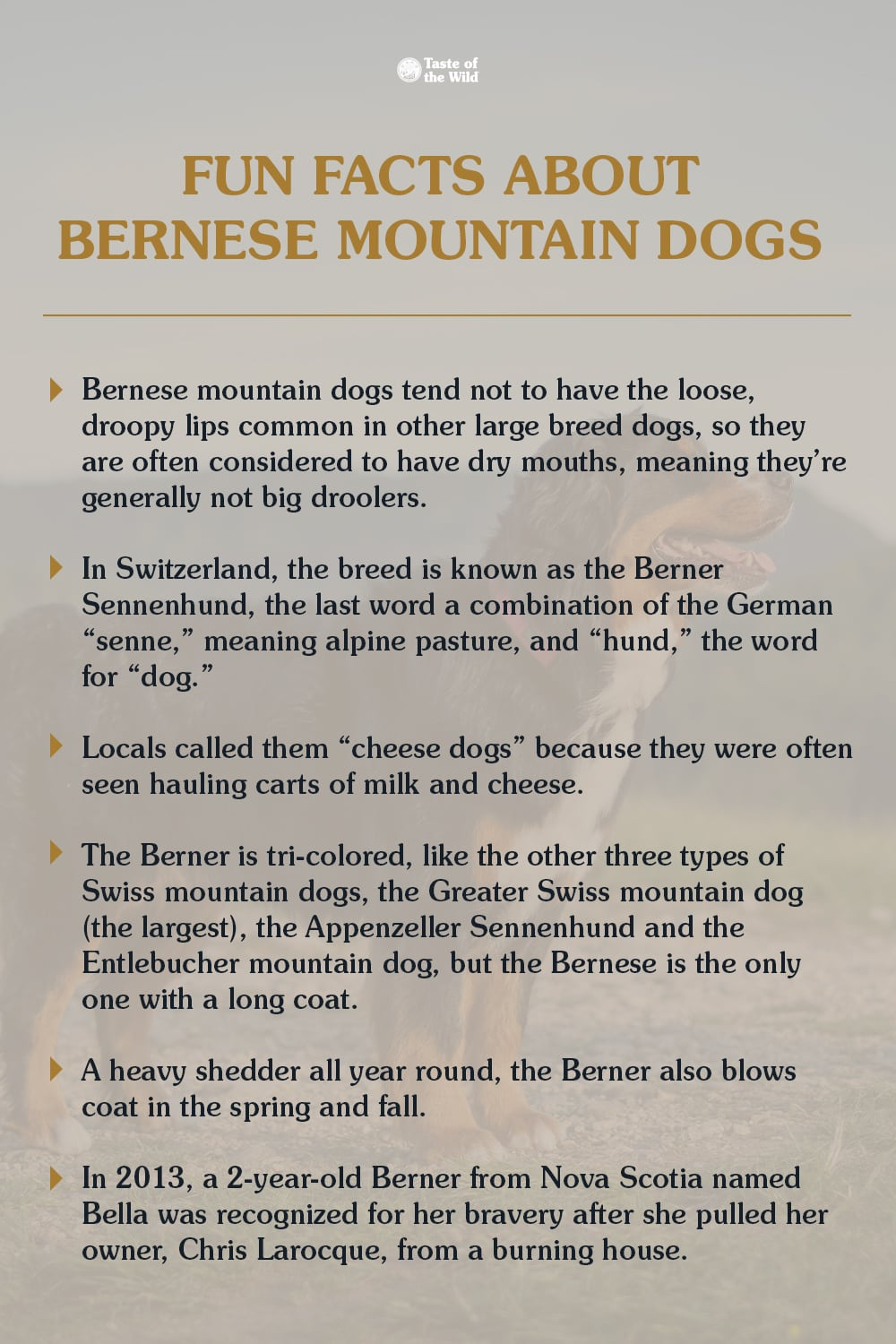 Infographic of fun facts about Bernese mountain dogs