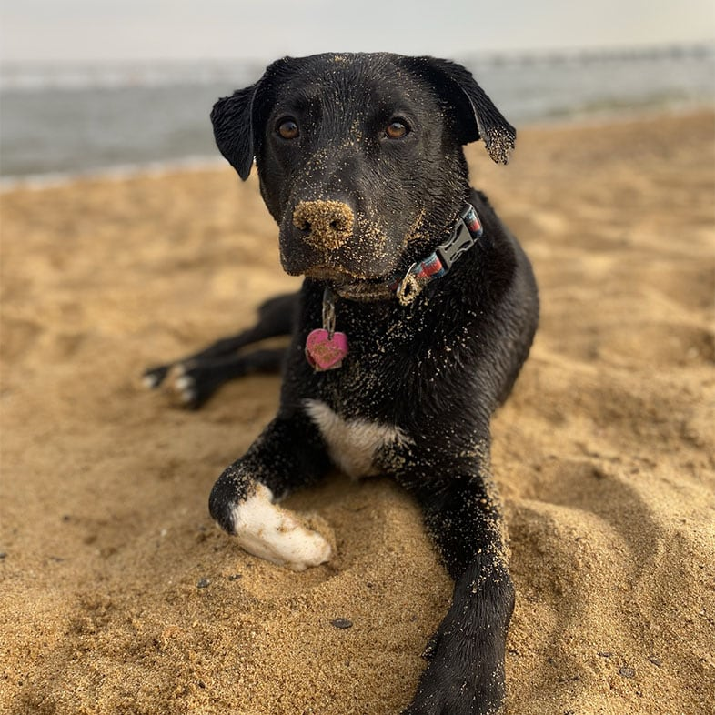 Dog Lying with Sand on Nose   Taste of the Wild