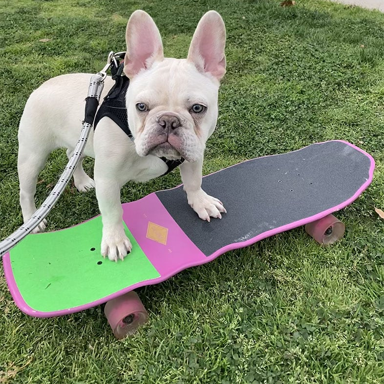 French Bulldog with Paws on Skateboard   Taste of the Wild