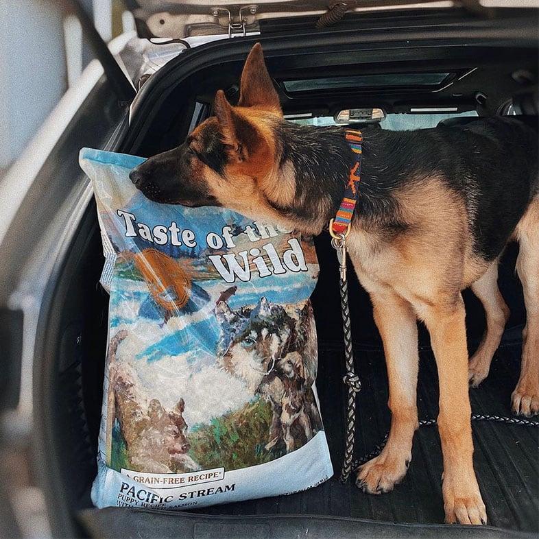 German Shepherd Dog Smelling Taste of the Wild Food Bag   Taste of the Wild