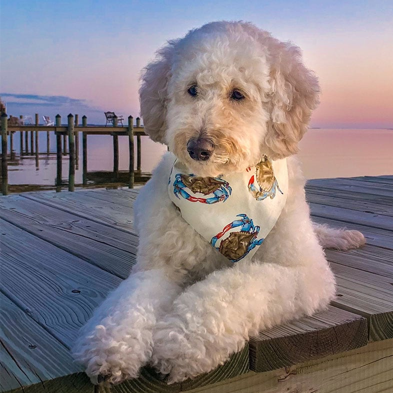 Goldendoodle Lying on a Dock   Taste of the Wild