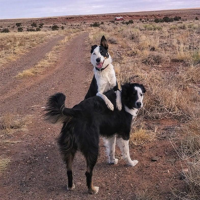 Two Border Collies Posing Outside   Taste of the Wild