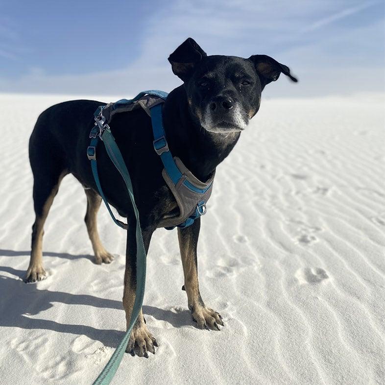 Catahoula Beagle Mix at Sand Dunes   Taste of the Wild