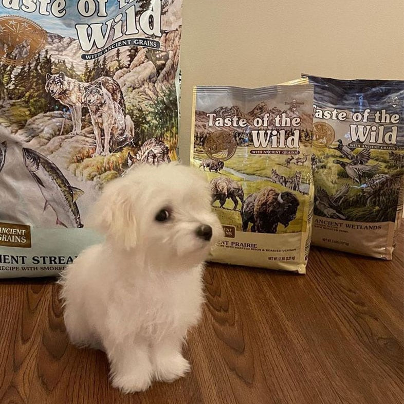 Maltese Puppy in Front of Taste of the Wild Food Bags   Taste of the Wild
