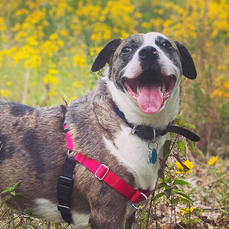Mountain Cur Dog on a Trail with Mouth Open   Taste of the Wild