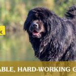 Newfoundland Dog with Wet Fur | Taste of the Wild