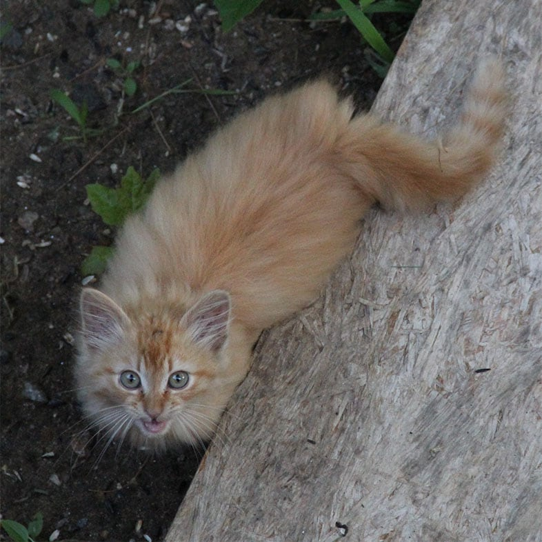 Red Tabby Cat Looking Up at Camera   Taste of the Wild